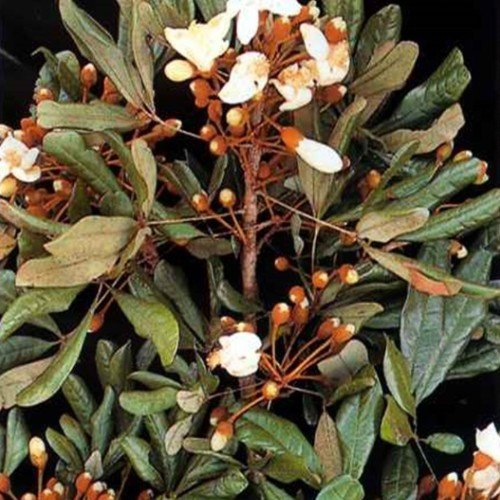 Catuaba bark extract=VigRX Plus Ingredient